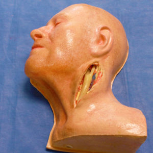 Carotid Head Simulator with Artery
